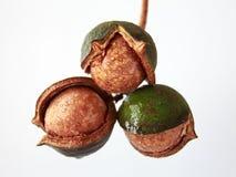 macadamia Στοκ φωτογραφία με δικαίωμα ελεύθερης χρήσης