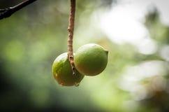 macadamia Arkivbild