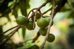 macadamia Royaltyfria Foton