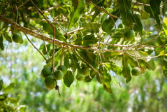 Macadamia boom royalty-vrije stock fotografie
