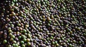 Macadamia dokrętka zdjęcie royalty free