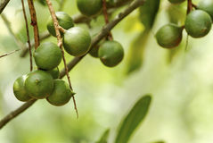 Macadamia dokrętki Obraz Royalty Free