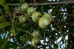 Macadamia dokrętki wiesza na swój drzewie Fotografia Royalty Free