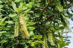 Macadamia flowers Royalty Free Stock Photos