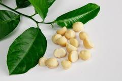 Macadamia i liście zdjęcie royalty free