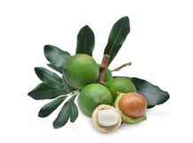 Macadamia with leaves isolated on white royalty free stock images