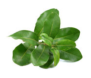Macadamia leaves Stock Photography
