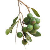 Macadamia noot Royalty-vrije Stock Foto