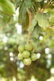 Macadamia noten stock afbeeldingen