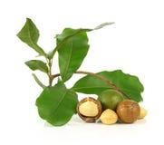Macadamia noten op witte achtergrond Stock Afbeelding