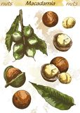 Macadamia nut color Royalty Free Stock Images