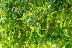 Macadamia nut flowers Stock Photography