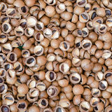 Macadamia nut hard shell Stock Images