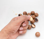 Macadamia nuts fruits with shell in hand on white background Stock Images