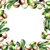 Macadamia nuts and green leaves square background. Royalty Free Stock Photography