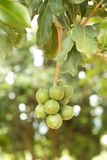Macadamia nuts. Hanging on tree Stock Images