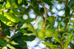 Free Macadamia Nuts On Tree Royalty Free Stock Images - 69605979