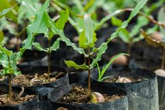 Macadamia nuts seedlings with green leaf stock photography