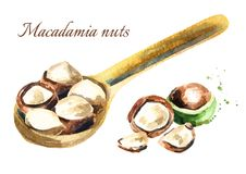Macadamia nuts in the spoon Royalty Free Stock Photo