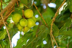 Macadamia nuts on tree Stock Photos