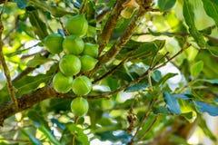 Macadamia nuts on tree Stock Image