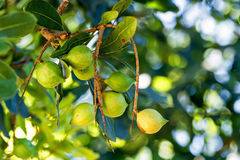 Macadamia nuts on tree Stock Photo