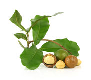 Macadamia nuts on white background Stock Image