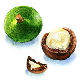 Macadamia nuts on white background Stock Image