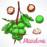 Macadamia tree branch Royalty Free Stock Photography