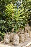 Macadamia trees Stock Photography