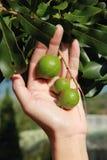 Macadamiabäume Stockfotografie