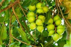 Macadamiamuttrar på träd Arkivbild