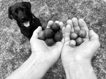 Macadamias fraîches avec le chien image libre de droits