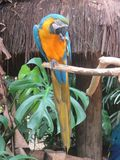 Macao parrot Stock Image