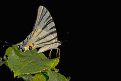Macaon butterfly  on black Stock Photography