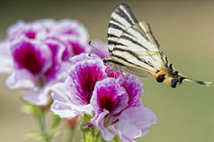 Macaon butterfly Stock Image