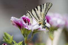 Macaon butterfly Royalty Free Stock Images