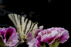 Macaon butterfly Royalty Free Stock Photography