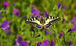 Macaon-Schmetterling in der Landschaft nahe Blera, Italien Stockfotos