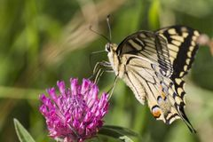 Macaone бабочки на цветке Стоковое Изображение RF