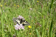 Macaone butterfly resting on a flower of wild onion. Sardinia, M Royalty Free Stock Images