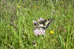 Macaone butterfly resting on a flower of wild onion. Sardinia, M Stock Photography