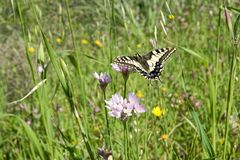 Macaone butterfly resting on a flower of wild onion. Sardinia, M Royalty Free Stock Image