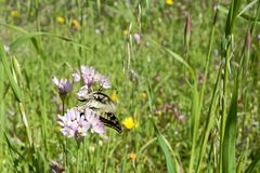 Macaone butterfly resting on a flower of wild onion. Sardinia, M Stock Images
