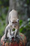 Macaque έτοιμο να επιτεθεί ξαφνικά Στοκ Φωτογραφίες