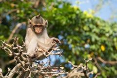 Macaque-έχοντας Στοκ φωτογραφία με δικαίωμα ελεύθερης χρήσης