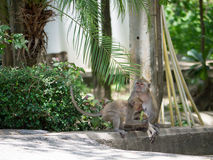 Macaque (καβούρι-που τρώει macaque) στο μονοπάτι Στοκ Εικόνα