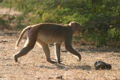 macaque ο ρήσος μακάκος Στοκ Εικόνες