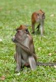 macaque πίθηκος Στοκ εικόνα με δικαίωμα ελεύθερης χρήσης