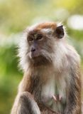 macaque πίθηκος Στοκ Εικόνες
